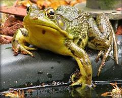 The Good Life (sillyfrog :-)) Tags: nature pond amphibian frog blueribbonwinner flickrhearts heartsaward platinumheartaward photolaughs pamoered