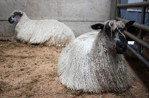 Two Teeswater sheep