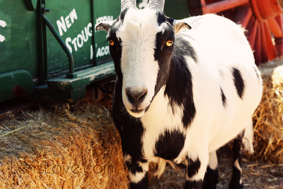 Goat#3