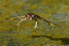 Hang Time (HowardCheekPhotography.com) Tags: nature true texas nocturnal wildlife frog southern leopard frogs aquatic amphibians rana carnivorous sphenocephala nbw photocontesttnc12