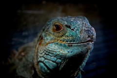 Iguana (E.M.Lpez) Tags: naturaleza animal iguana verano animales junio reptil alcallareal