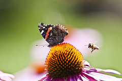 Painted Lady butterfly, a flower and a bee (Benjamin Lehman) Tags: flower butterfly bee paintedlady abject abjectgothic benjaminlehman