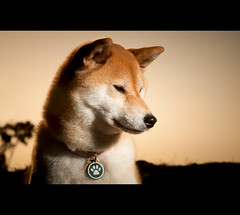 Simply Suki - 26/52 (kaoni701) Tags: sf sanfrancisco sunset portrait dog face project japanese nikon tokina sherwoodforest suki shibainu shiba mtdavidson 535 shibaken  sb800 strobist 50135 sb900 d300s 52weeksfordogs