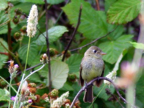 Pacific-slope Flycatcher 20100626