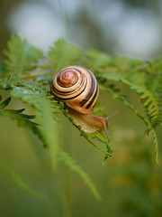 Snail in the woods (yvonnepay615) Tags: uk macro nature woodland lumix woods forestry norfolk snail panasonic g1 45mm eastanglia mollusc swaffham lovetheworldofnature naturesgreenpeace esenciadelanaturaleza