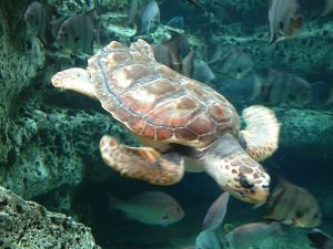 Animal Welfare Institute sues BP to save endangered turtles