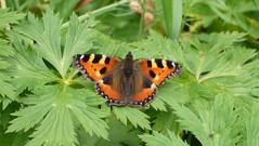 Kleiner Fuchs (Aah-Yeah) Tags: butterfly bayern small tortoiseshell kleiner fuchs schmetterling aglais urticae achental nymphalis chiemgau tagfalter marquartstein