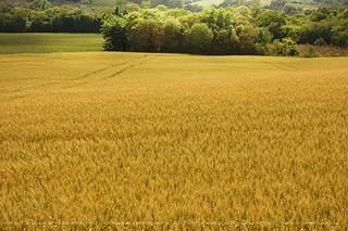 Trigais - wheat