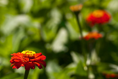 Longwood with Andrea: Flower Artist Considers Its Impressionist Self Portrait (Entropic Remnants) Tags: pictures flowers flower color botanical outdoors photo nikon colorful image photos picture images d200 longwoodgardens longwood