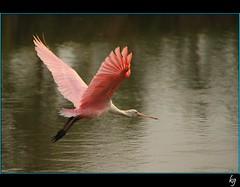 V ictoria (kgorka) Tags: bird canon mexico ave kata tamron colima manzanillo vuelo 18270 espatularosada eos7d tamronaf18270mmf3563diiivcldasphericalif gorkabarreras