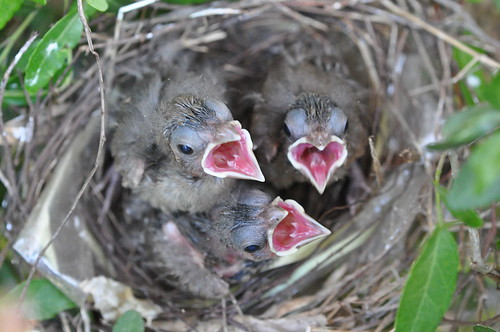 baby cardinals ready for food