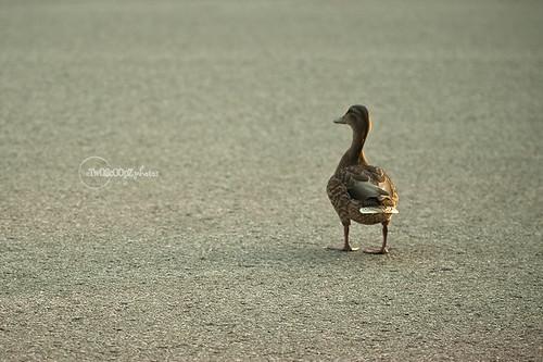 quack! day 187 (7)