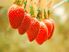 Washed and ready to eat (Sangeeta_2010) Tags: red food fruit sweet strawberries delicious hanging pegs pegged