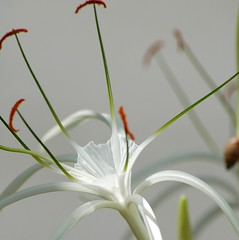 Beach Spider Lily...a  large, shiny, shadowy, amber-pollen laden beauty!