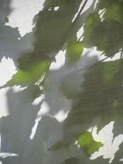 Bltterdach (MKP-0508) Tags: light shadow green leaves licht lumire vert ombre grn blatt bltter schatten feuilles lichtundschatten