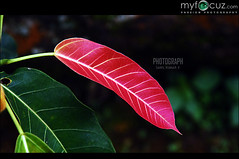 Red leaf with green leaf (Sanil Photography [800K views]) Tags: red nature leaf redleaf sanil myfocuz sanilphotography linsaworld sanilkumar