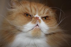 Toby (iwork4toby) Tags: red portrait pet cat persian midwest persiancat redpersian luv2explore