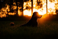Sunset With a Friend (www.matthansenphotography.com) Tags: trees sunset summer sky dog grass animal silhouette mammal friend bokeh michigan buddy bailey flare rimlighting matthansen