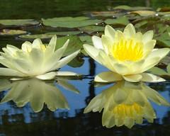 2010 6.25 056 (elsajayem) Tags: flower reflection water rain reflections nebraska waterlily lincoln waterdrops waterlillies waterdroplets sunkengardens lincolnnebraska waterlilys sunkengarden rainon lincolnne mywinners 2010625