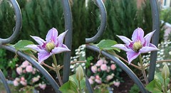 Clematis (voxel123) Tags: flowers flower floral leaves garden photography leaf petals stereoscopic stereogram stereophotography 3d crosseye crosseyed flora clematis petal stereo photograph imaging stereopair chacha stereography stereoscopy stereographic freeview stereophotograph stereograms crossview chachamethod xeye stereoscopicimaging