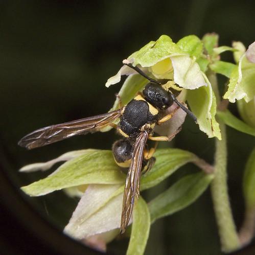 Pollinisateur orchidées 4786910212_fbace9cccb