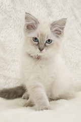 (catzpicz74) Tags: blue color colour cat point beige kitten tabby cream ivory fluffy lynx