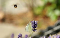 Großer Kohlweißling / Large White (11) (Ellenore56) Tags: life light summer white inspiration color colour nature animal butterfly garden insect licht loop sommer sony natur lavender july philosophy cycle physics environment imagination mathematics juli alpha economic creature magical farbe insekt garten chaostheory leben tier ecological umwelt lavendel largewhite butterflyeffect pierisbrassicae lebewesen disambiguation turbulenzen kohlweisling schmetterlingseffekt chaostheorie groserkohlweisling dslra350 sonyalphadslra350 philosofi ellenore56 13072010 dynamicl