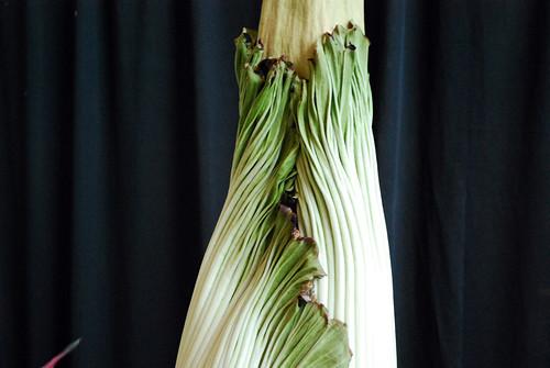 7.13.10 Amorphophallus titanum [10 am]