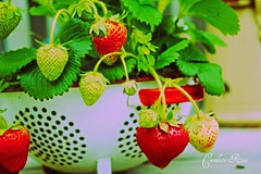 Fresh Summer Strawberries (candy_rose) Tags: california red summer greenleaves white green leaves northerncalifornia vintage strawberry berry berries antique rusty strawberries holes growing organic planter grown strainer reddish