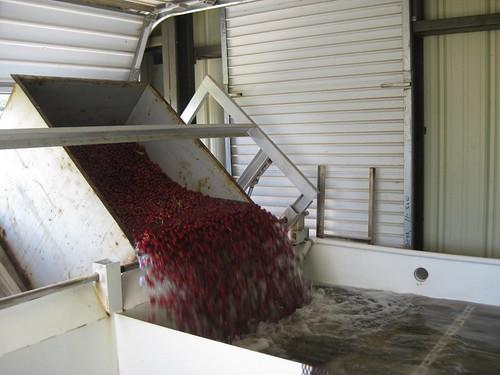 Picking cherries 2010
