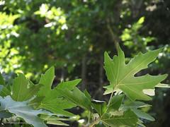 89.4.23 Jaghargh 02 (Nasser Torabzade) Tags: منظره چشمانداز درخت جنگل tree view nature طبیعت سبز green leaf برگ