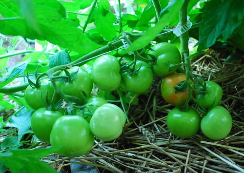 Red Siberian Tomato