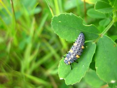 Ladybird Larvae - (joysaphine) Tags: summer wales flickr joy july top20nature pembrokeshire 2010 joysaphine summer2010 rspblovenature pembrokedockscrapland