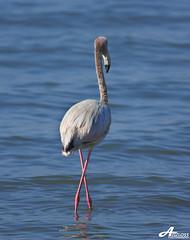 X Walking.. (ZiZLoSs) Tags: canon eos flamingo kuwait usm aziz abdulaziz  f56l ef400mmf56lusm 450d zizloss  canoneos450d ef400mm 3aziz almanie abdulazizalmanie httpzizlosscom