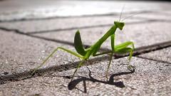 Praying Mantis Shadow