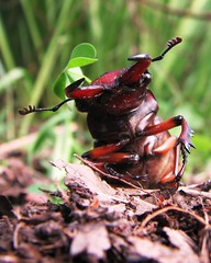 stag beetle (Pete&NoeWoods) Tags: yard insect animalia arthropoda stagbeetle coleoptera insecta lucanidae stagbeetles pterygota polyphaga scarabaeoidea inaturalist taxonomy:class=insecta taxonomy:kingdom=animalia taxonomy:order=coleoptera taxonomy:phylum=arthropoda taxonomy:subclass=pterygota taxonomy:suborder=polyphaga taxonomy:superfamily=scarabaeoidea taxonomy:family=lucanidae taxonomy:common=stagbeetles