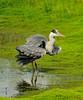 Grey Heron (mwkls (on catchup)) Tags: england nikon july warwickshire 2010 greyheron 300mmf4 14tc brandonmarsh d300s carltonhide