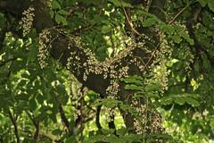 Kohekohe (Dysoxylum spectabile) (Steve Attwood) Tags: newzealand tree canon wellington floweringtree wellingtonbotanicgardens kohekohe meliaceae dysoxylumspectabile dysoxylum