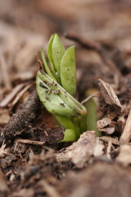 planta de arahis, abia rasare
