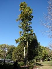 Lophanthera lactescens -  Golden Chain Tree (Tatters ) Tags: tree australia qld floweringtree coottha malpighiaceae lophanthera lophantheralactesce