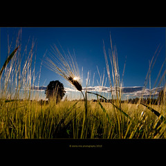 ||*| (stella-mia) Tags: field norway corn sommer explore lensflare korn stange åker hedmark 2470mm explored canon5dmkii annakrømcke