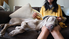 29/52 relaxing x 2 (dohlongma) Tags: sleeping dog magazine reading afternoon sofa weimaraner tired dohlong