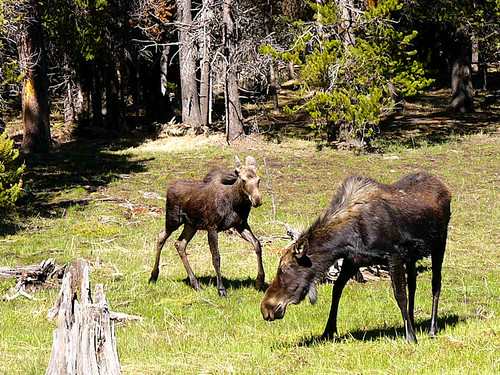 Yellowstone National Park 2005 - Mother and baby moose