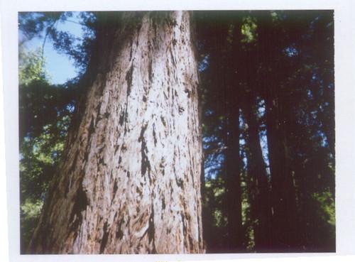 pfeiffer big sur redwoods