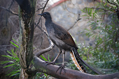 "Superb Lyrebird ~ ""Chook"" (rogersmithpix) Tags: birds australianbirds chook adelaidezoo featheryfriday superblyrebird menuranovaehollandiae lyrebirds thewonderfulworldofbirds"