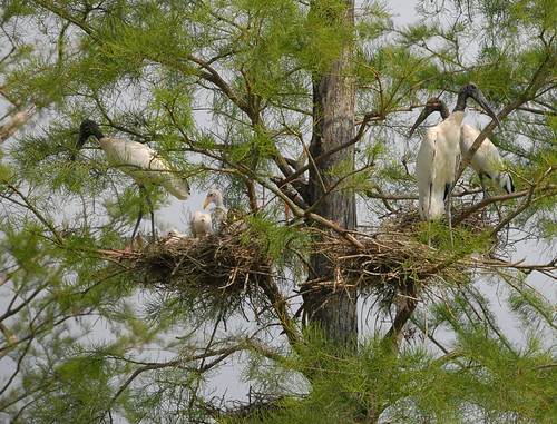 Wood storks are long-legged wading birds with black-tipped wings and tails. These birds, which have a wingspan of 5 feet when fully grown, need wetlands to survive. Their populations reached a low of 2,500 pairs by 1978, causing them to be listed as endangered in 1984.