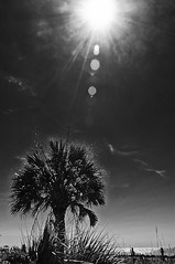 Palm Tree In The Sun (jp_42) Tags: ocean tree monochrome clouds myrtlebeach dunes palm jp flare explored jonathanparker flickrexplored