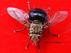 Mosco (Luciano de Siqueira) Tags: inseto mosca candelaria varejeira moscavarejeira mosco lucianodesiqueira