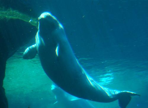 Vancouver Aquarium - Beluga Whales (10)