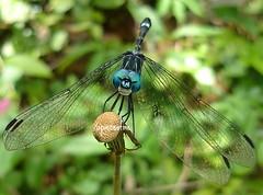 Bom sabado ^^ (Mh :)) Tags: macro animal dragonfly creative inseto moment bicho liblula foco creativemoment